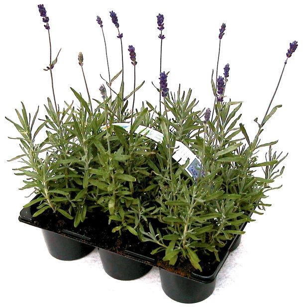 Lavendel 6 pakk, 6 pk, Blå
