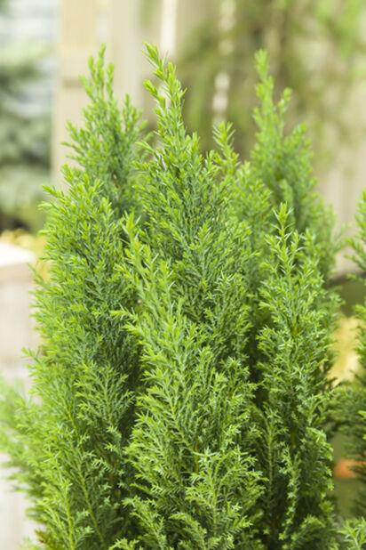 Lawsonsypress 'Ellwoodii' , Høyde 30 cm, Grønn