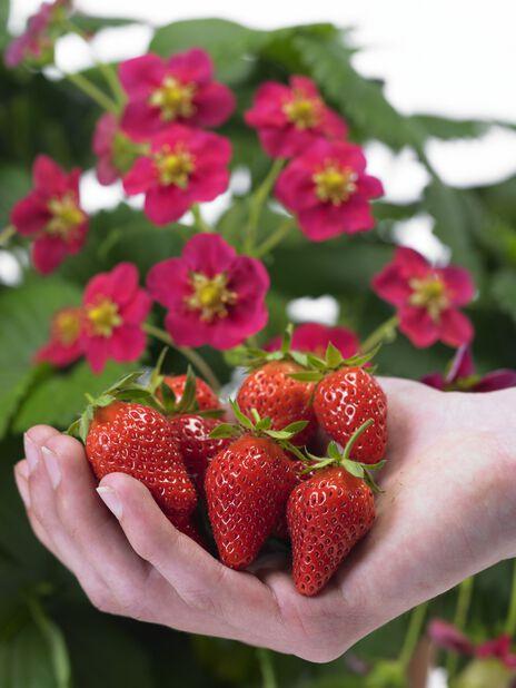 Jordbær 'Korona'