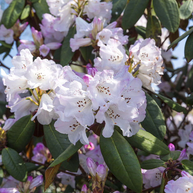 Rododendron 'Azurika', Ø17 cm, Blå