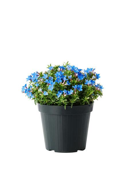Lithodora, Ø14 cm, Blå