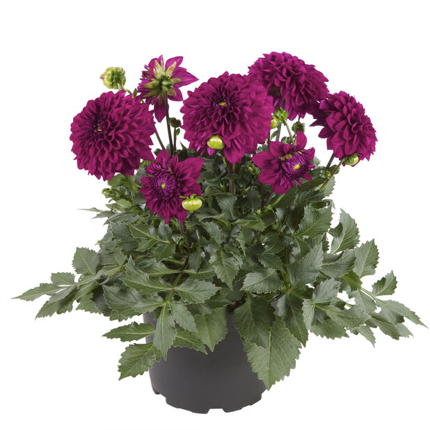 Georginer i 19 cm lilla