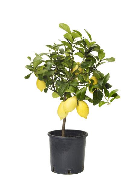 Sitrusplante, Ø21 cm, Gul