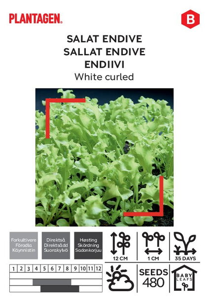 Salat endive 'White curled'