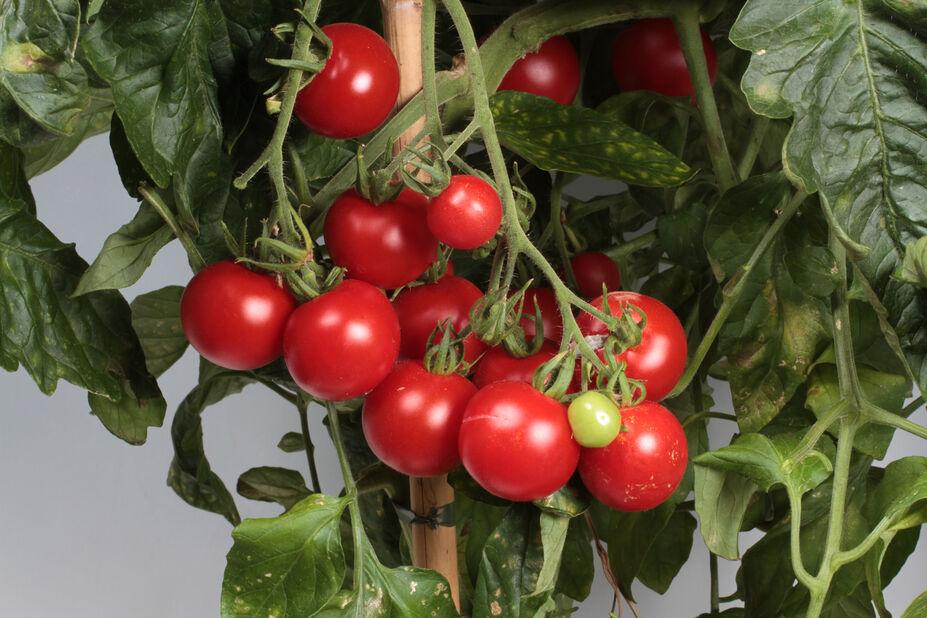 Cherrytomat 'Gartenfreude', Ø12 cm, Rød