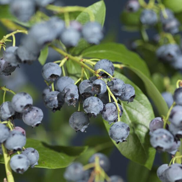 Blåbær 'Northland' , Ø12 cm, Blå