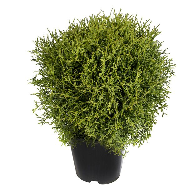 Tuja 'Tiny Tim', Ø23 cm, Grønn