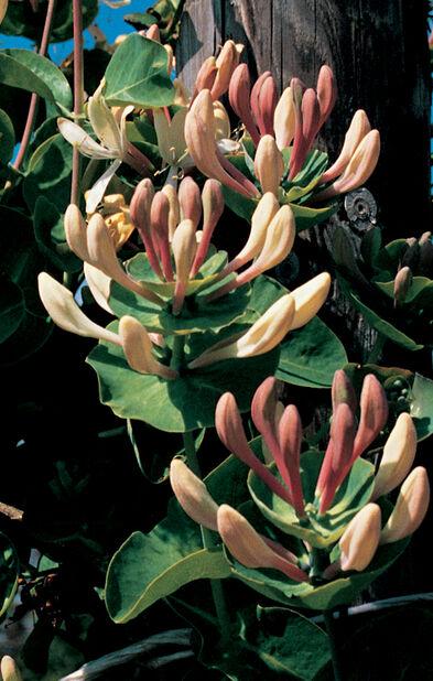 Duftkaprifol, Ø17 cm, Rosa