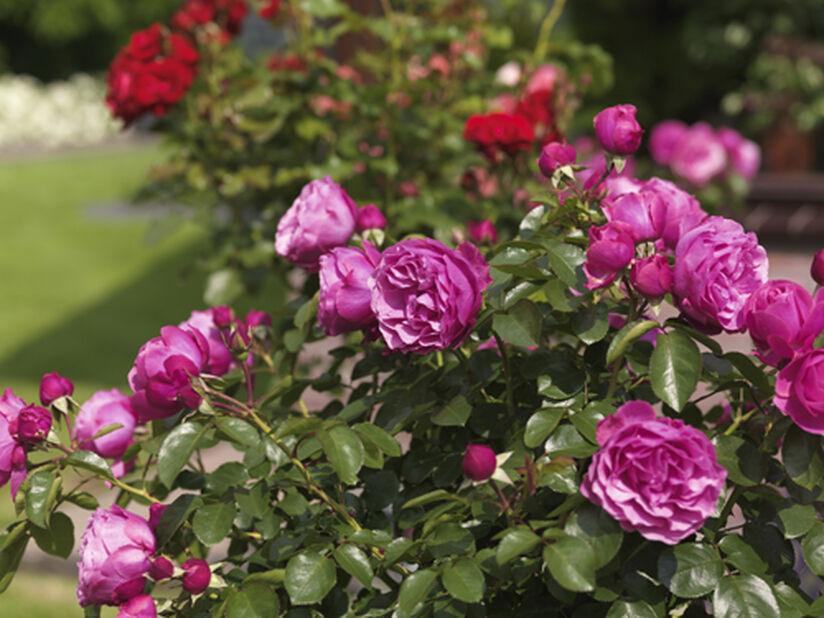 Rosa 'Heidi Klum' 4L