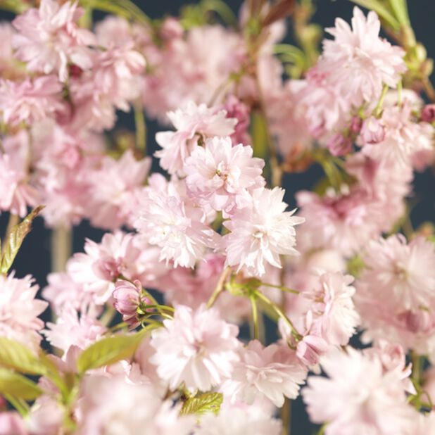 Prunus serrulata 'Kiku-shidare-zakura' 125 cm