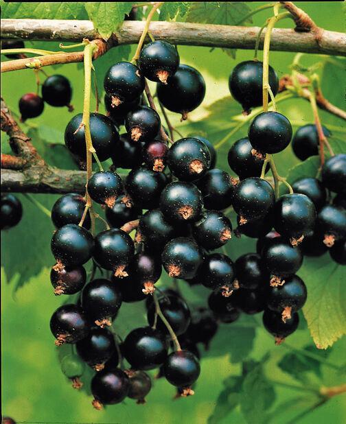 Solbær 'Öjebyn', Høyde 50 cm, Grønn
