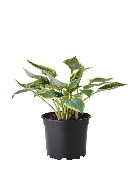Hosta grønn og, Høyde 35 cm, Flerfarget
