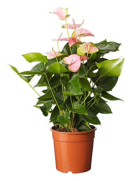 FlamingoblomstXXL rosa 27 cm