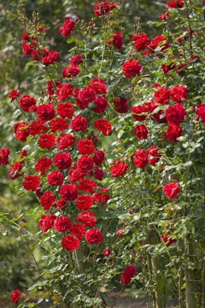 Rose 4,5L