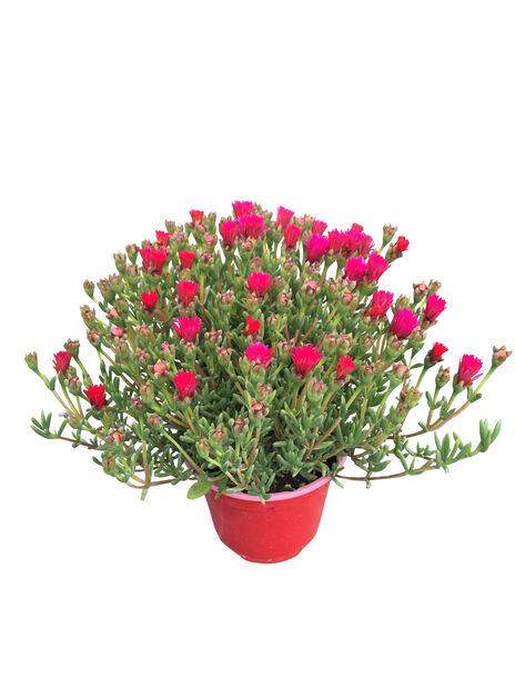 Mesembreanthemum 14 cm