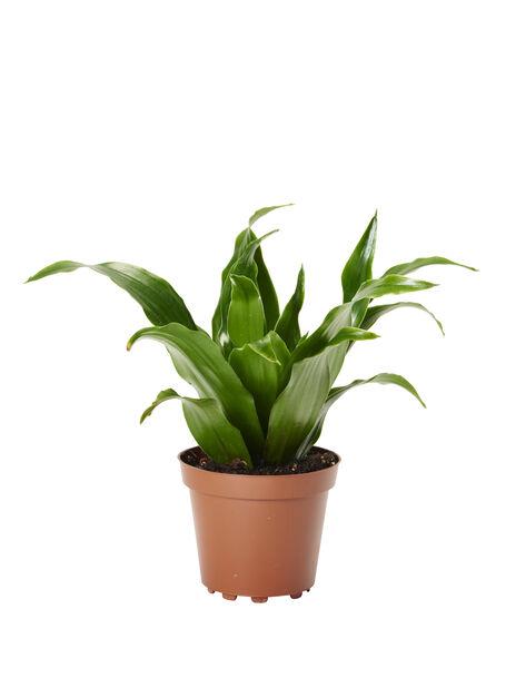 Dracaena fragrans 'Janet Craig' 6 cm