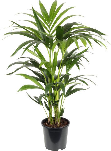 Kentiapalme, Høyde 95 cm, Grønn