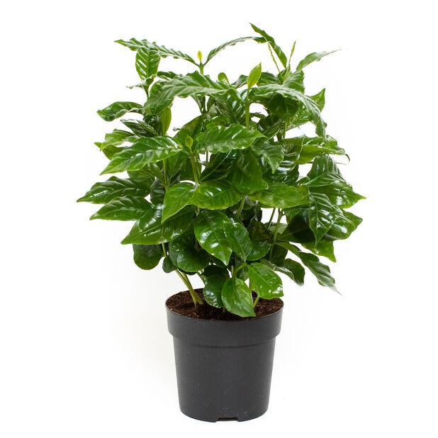 Kaffeplante, Høyde 25 cm, Grønn