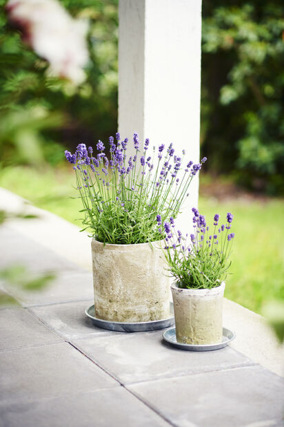 Lavendel, Ø12 cm, Blå