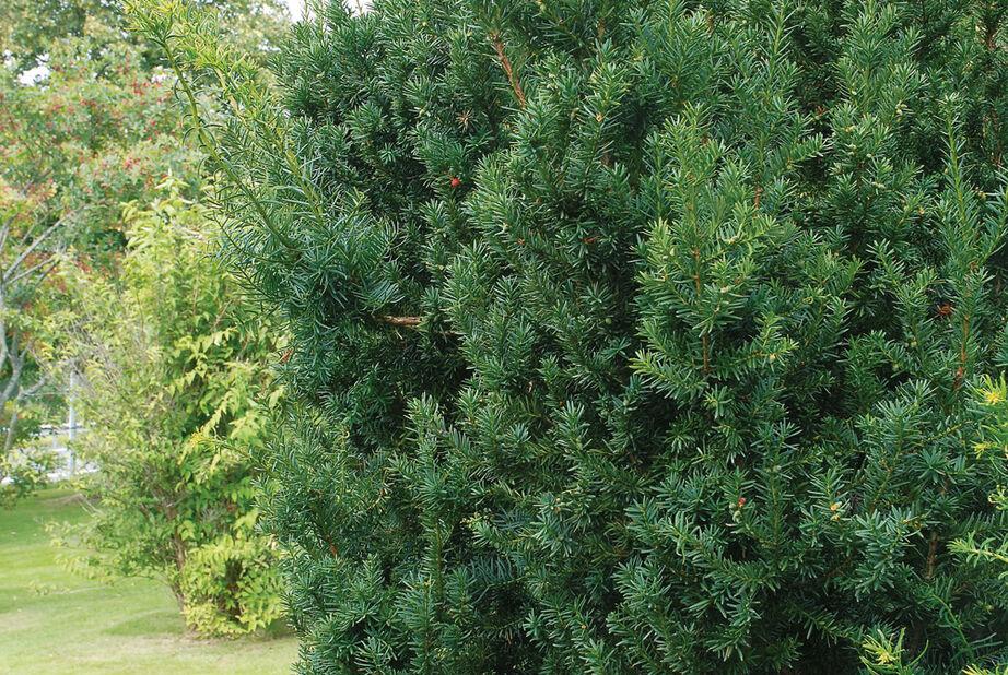 Hybridbarlind 'Hillii', Høyde 30 cm, Grønn