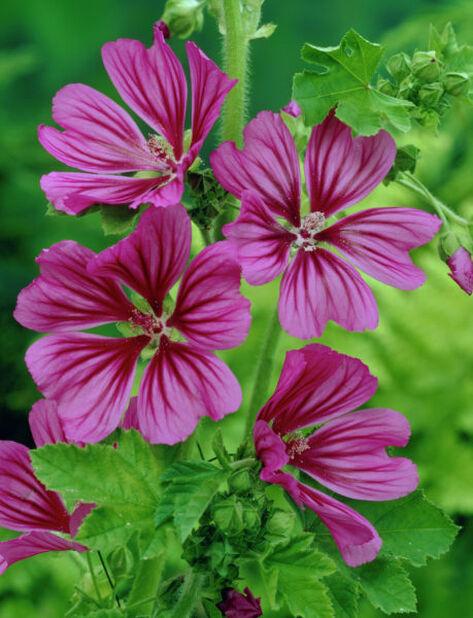 Poppelrose, Ø11 cm, Rosa