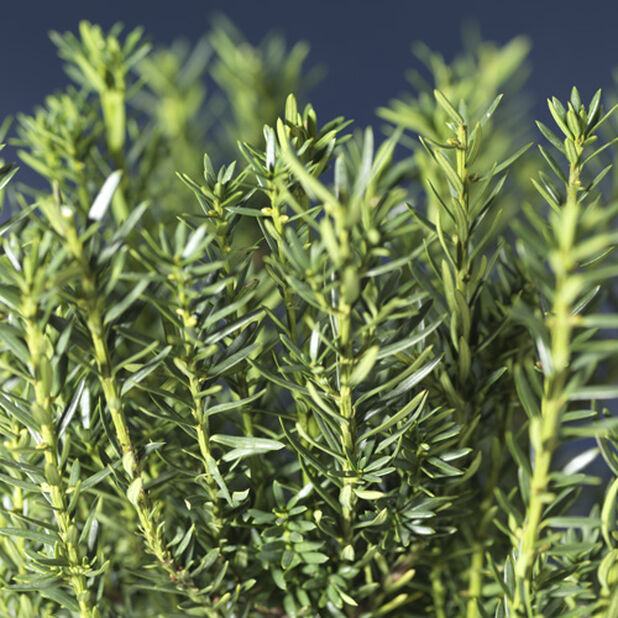 Taxus media 'Hillii'   30-40
