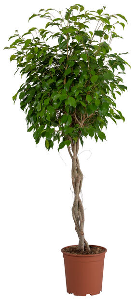 Ficus wintergreen braided stem 27cm