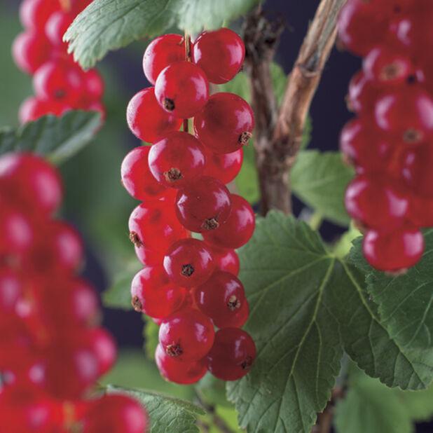 Rips Rød 'Rød Hollandsk', Ø22 cm, Grønn