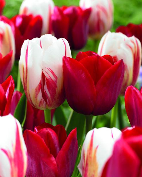 Tulipanmiks Love Circles, Flerfarget