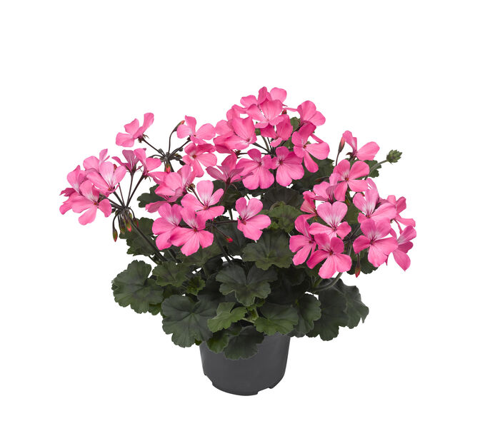 Pelargonia Calliope 'Dark Pink', Ø13 cm, Rosa