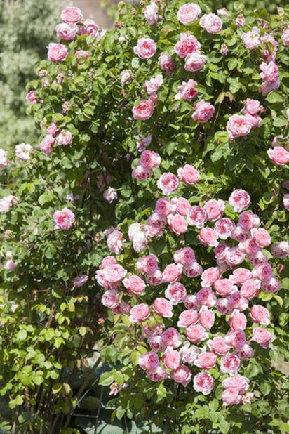 Rose tower, Høyde 50 cm, Rosa