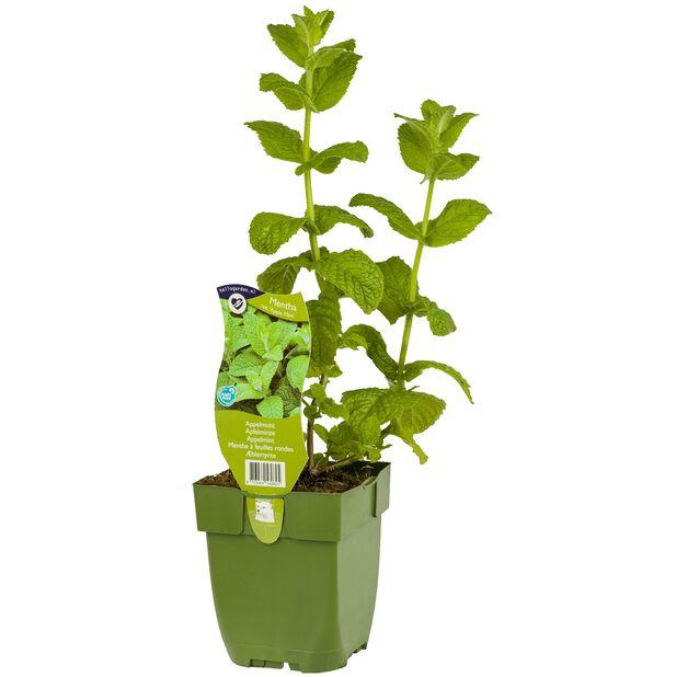Eplemynte 'Apple Mint', Ø19 cm, Grønn