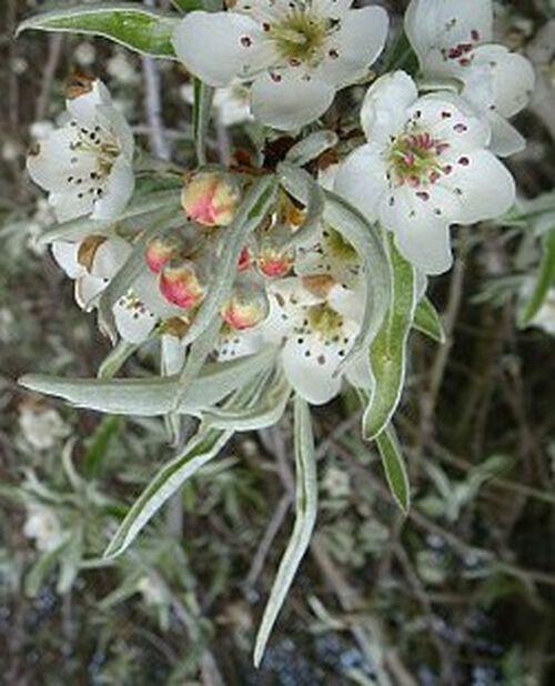 Pyrus salicifolia 'Pendula' 100 cm 12L