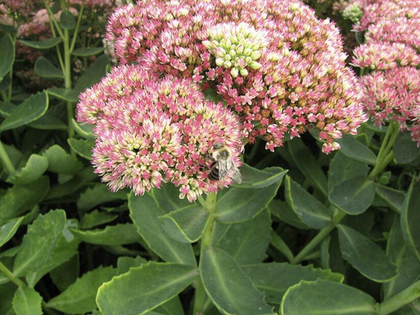 Hagesmørbukk 'Herbstfreude', Høyde 20 cm, Rosa