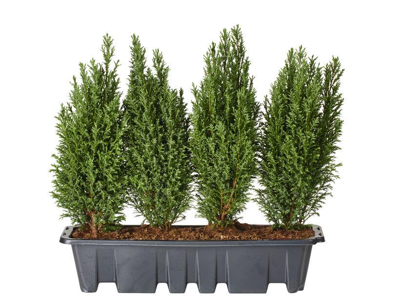 Sypress 'Ellwoodii' 55 cm