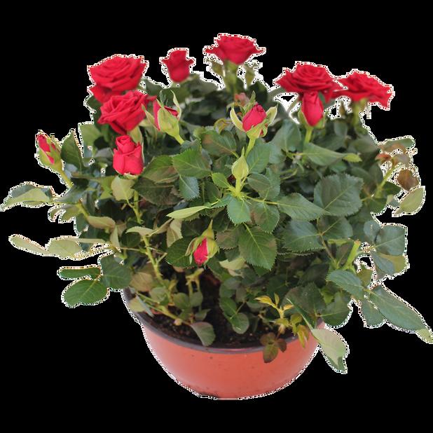 Potterose , Høyde 32 cm, Rød