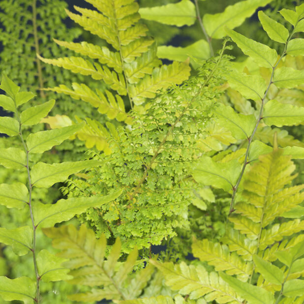 Bregnemiks, høst, Ø15 cm, Grønn