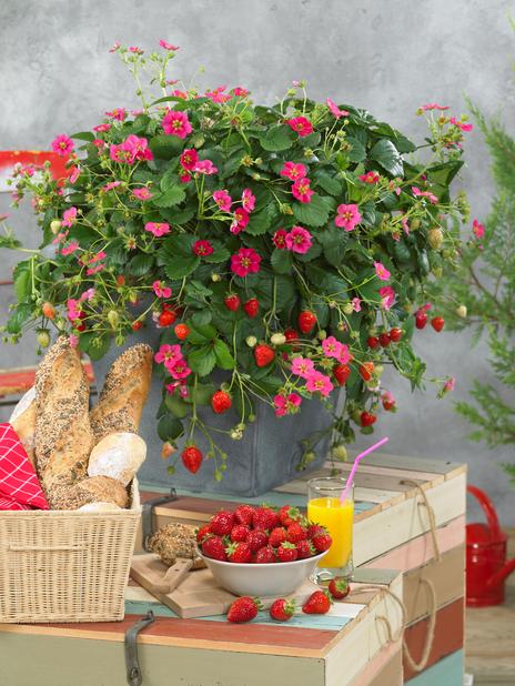 Jordbær 'Toscana', 6 pk, Rød