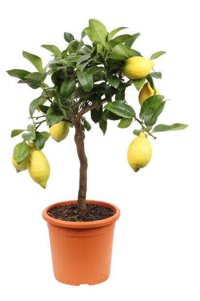 Sitrus på stamme, Ø21 cm, Gul