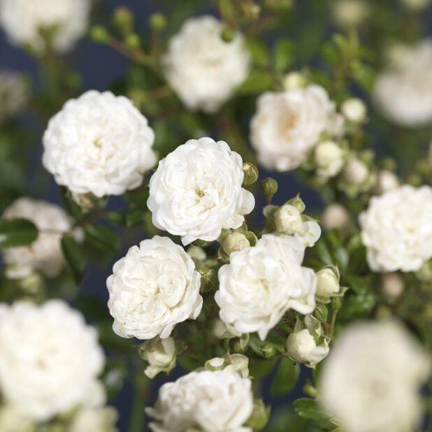 Bunndekkende rose 'Christal Fairy', Høyde 30 cm, Hvit
