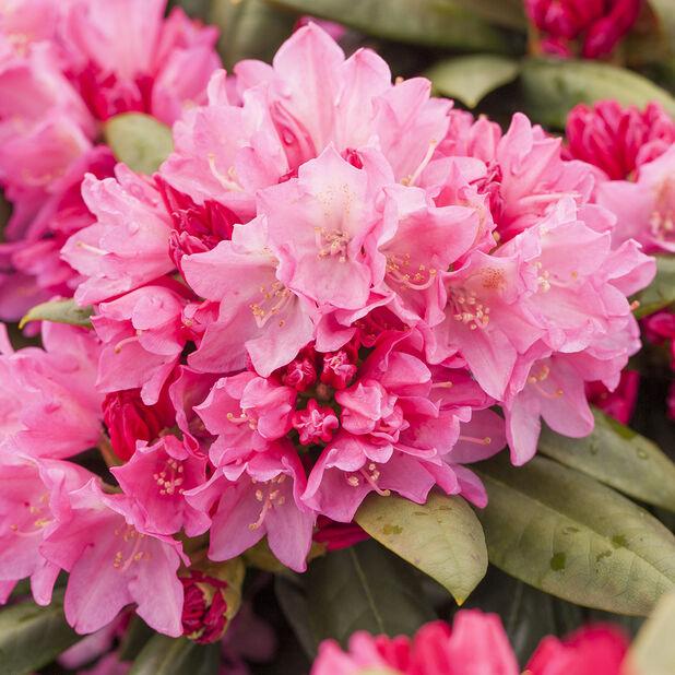 Rododendron 'Polaris', Ø23 cm, Rosa