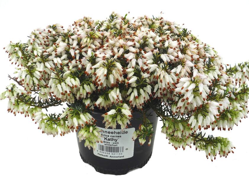 Erica carnea White 10,5 cm