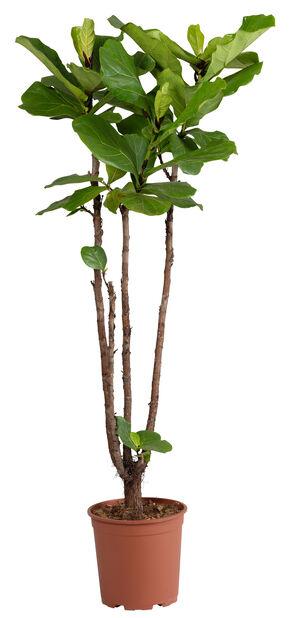 Fiolinfiken , Høyde 135 cm, Grønn