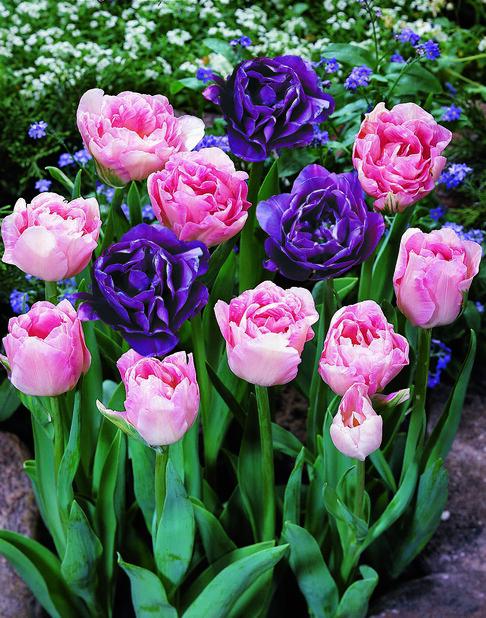 Tulipanmiks Double Delight, Flerfarget