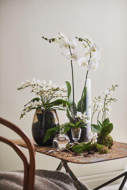 Orkidé mini, Høyde 20 cm, Hvit