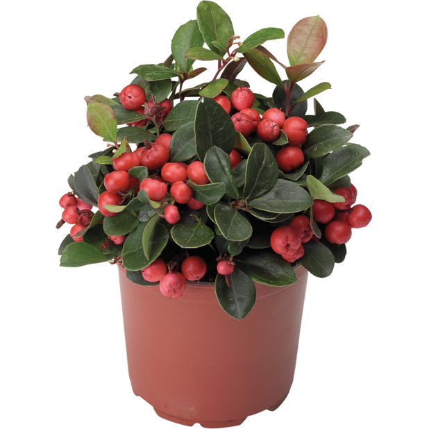 Gaultheria 'Big Berry' 9 cm