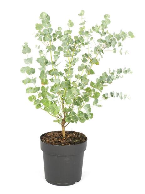 Eucalyptus 17 cm