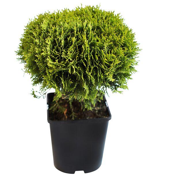 Tuja 'Danica', Ø15 cm, Grønn