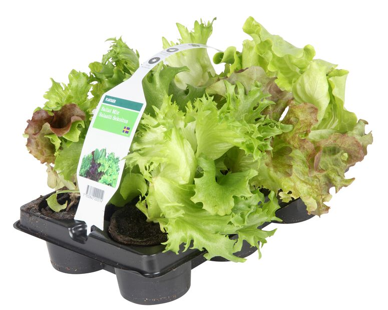 Salat, 6 pk, Flere farger