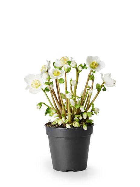 Julerose 'Verboom Beauty', Ø10.5 cm, Hvit